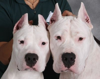 Dogo Argentino Dog Breed Information and Pictures