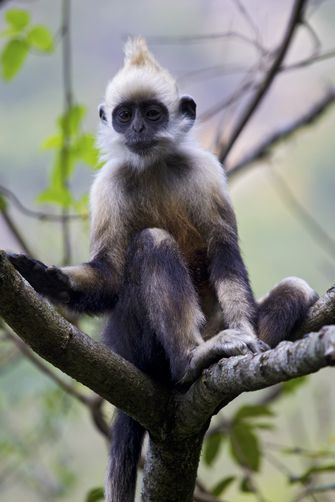 White-Headed Langur - Trachypithecus poliocephalus (in image) - Found only on Cát Bà Island, Vietnam, this Old World monkey is, like the other white-headed langur (Presbytis leucocephalus), critically endangered. Its crown has a yellowish cast and its shoulders are lighter, while P leucocephalus has a pure white crown and dark shoulders and is found only in Guangxi, China - Image : © Jed Weingarten