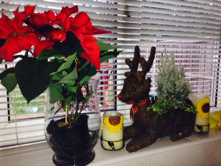 Poinsettia plant & Reindeer plant pot with miniature Christmas tree