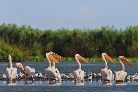 Medical Vacations , Romania. Danube Delta - white pelicans. http://www.intermedline.com/services/medical-tourism-romania-travel/travel-in-romania#.Urd6_PQW3sk  #medicaltravelRomania #medicaltourismRomania #medicalholidaysRomania #medicaltravel #medicaltourism #medicalholidays  #travelRomania, #toursinRomania #sightseeingRomania , CONTACT NOW! office@intermedline.com; Phone: 1 518 620 42 25