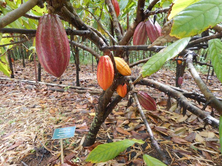 Cacao, Steelgrass Chocolate Farm, Kauai - currently has the rarest chocolate in the world!