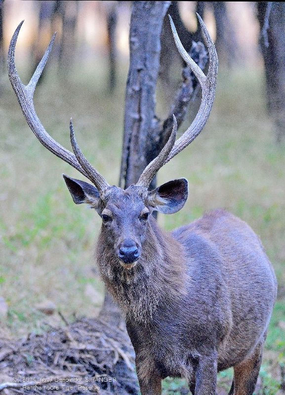 Male Sambar deer !