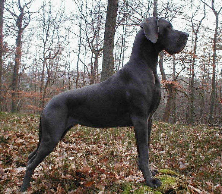 blaue deutsche dogge | Deutsche Dogge Blau Welpen Von Mraque Zwinger Zu Verkaufen Sind Welpen ...