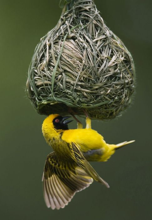 The skill and dexterity with which all species of Weaver Birds make build their nests is amazing.  The nest of each species is different.  Some colonise trees preferring the fever trees and acacias whilst others concentrate in the reed beds.  The bird in this picture is the Spottedbacked Weaver with the red eye and the face mask cutting low over the beak.  This species is common throughout southern Africa.