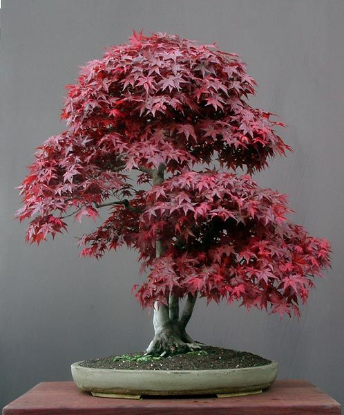 middle-aged, deep-coloured, dark-bodied Japanese Red Maple (acer palmatum).