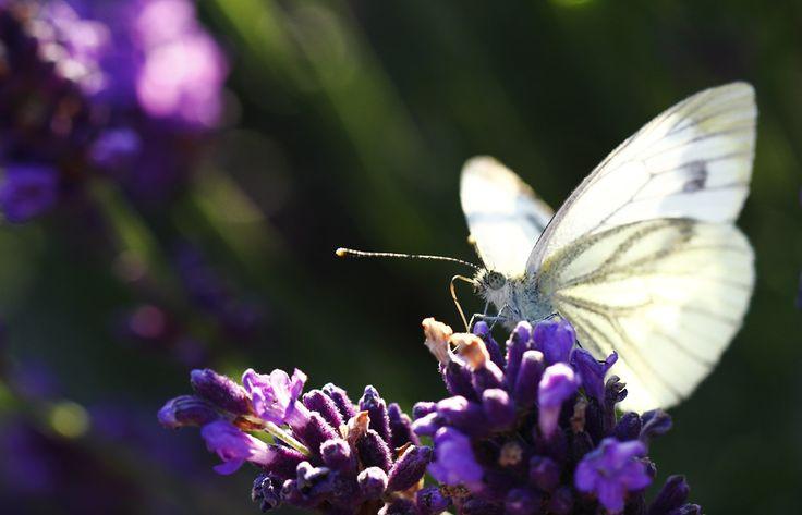 Koolwitje op één van onze vlinderstruiken