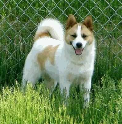*FOR ALL THE PEOPLE WHO THINK THAT THIS IS A NORWEGIAN LUNDEHUND*  This is not a norweigian lundehund but a relative of it. It's called a Norbottenspets. Look it up.