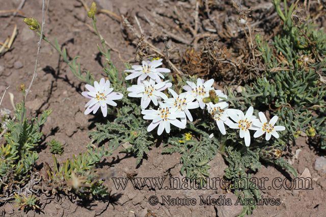 Perezia carthamoides | Media Archives | NATUREMAR: Nature Media Archives