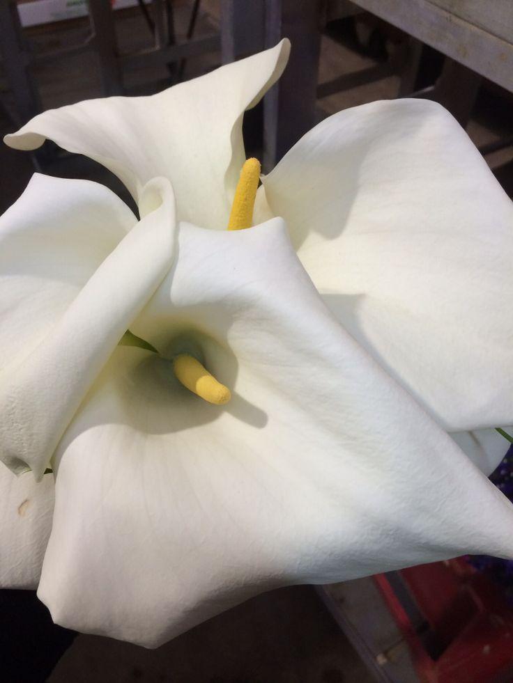 White arum lillies