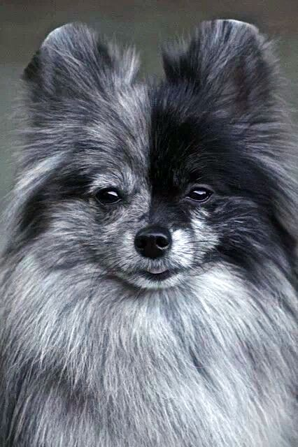 Blue Merle Pomeranian Toy / Teacup Dogs Puppy Hounds Puppies Pinned by pinner