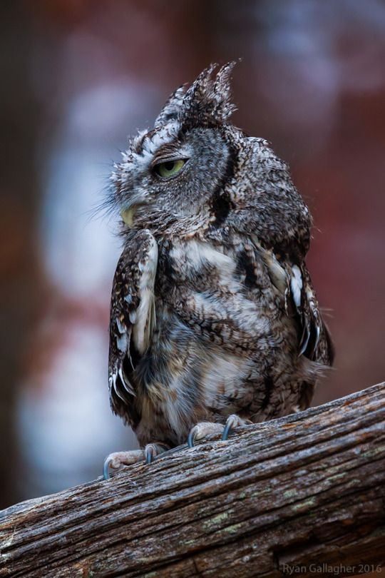 Best Butter Witch Book Images On Pinterest Kitchen Witchery - Meet the cuddly owl who loves landing on people