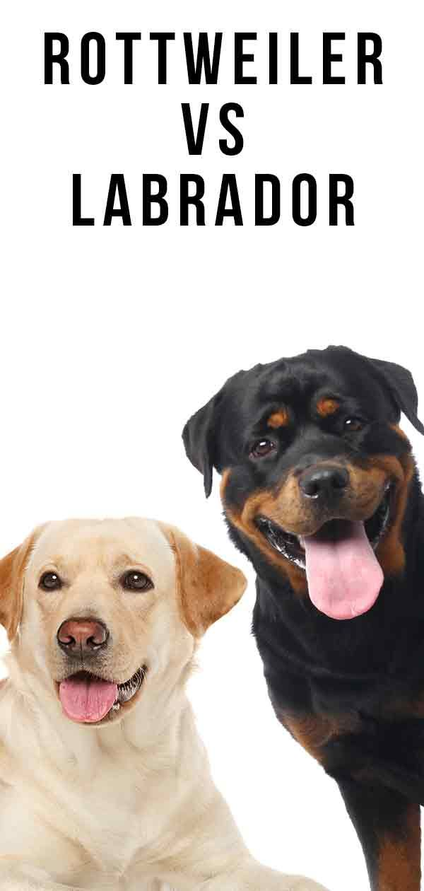Rottweiler Vs Labrador Which Pet Is Better Suited To You