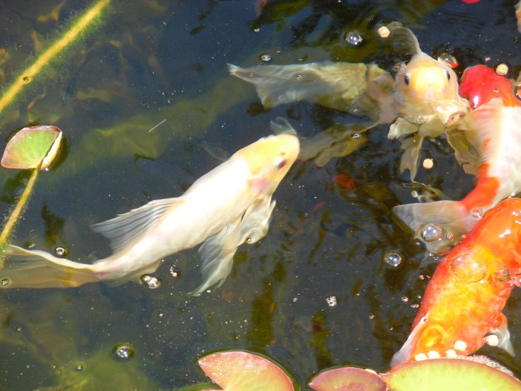 56 best images about kio goldfish comets and subunkins on for Building a goldfish pond
