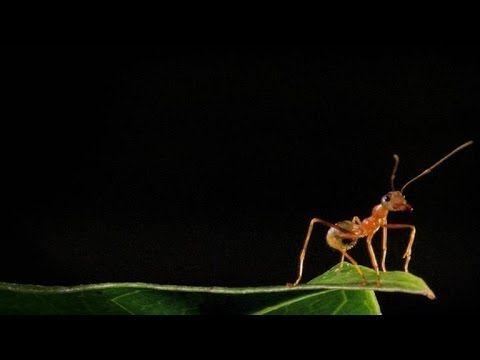 Ants build leaf homes, use their babies as 'gluesticks'