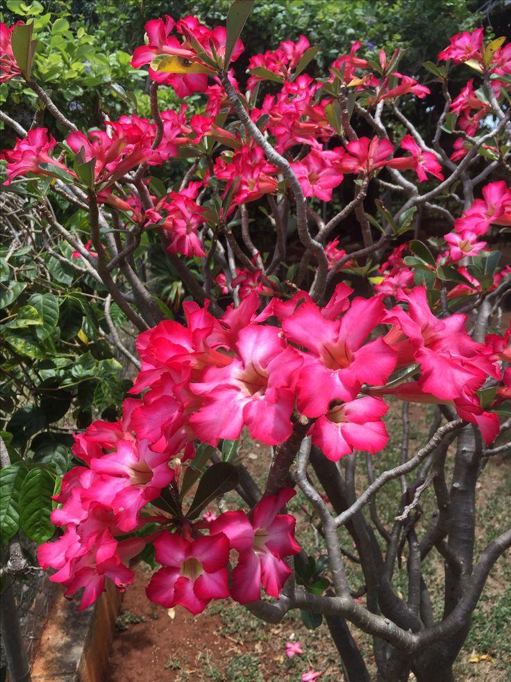 Desert rose in full bloom!!