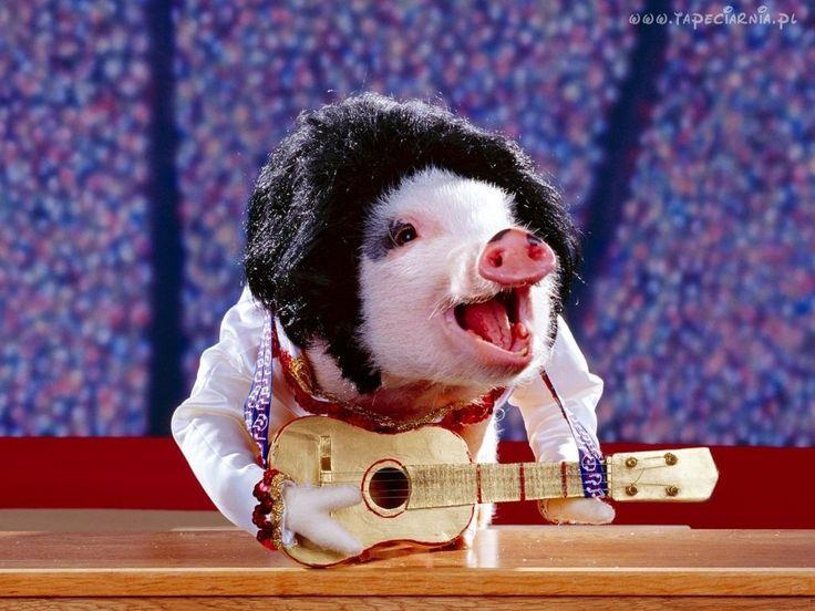 Świnia z Gitarą, Śmieszne