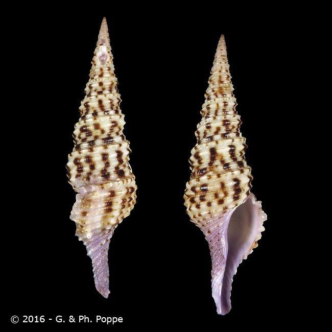 Turris nadaensis