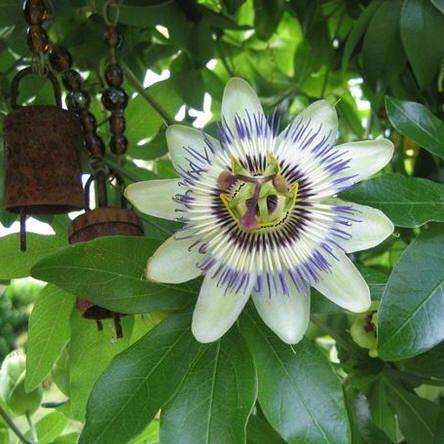 Passiflora legende - de legende van de passiflora als gedicht - passieflora of passiebloem