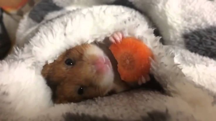 Cutest video you've ever seen and listen carefully to the soundfeed :) Hamster eating  a carrot