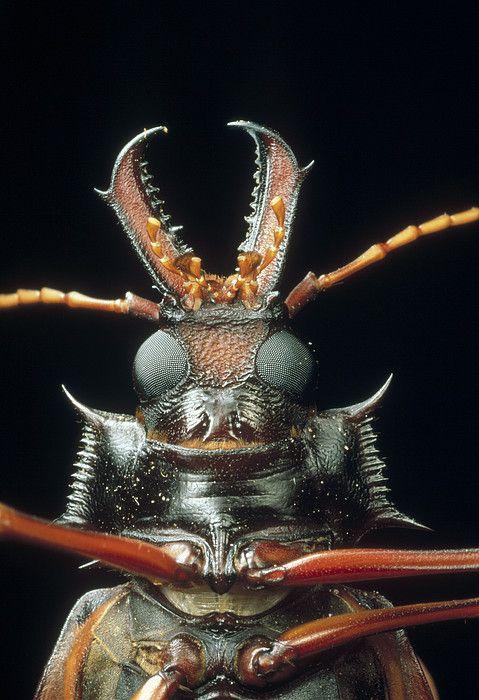 Longhorn #Beetle. #insect #entomology