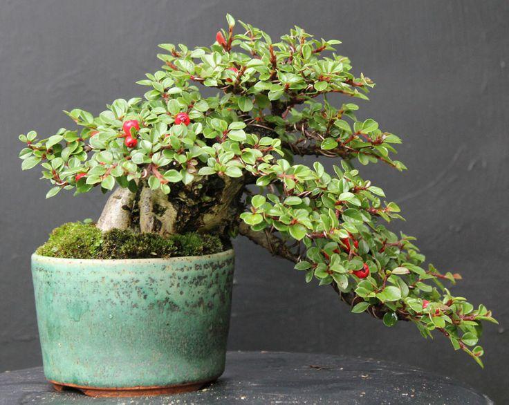 bonsai cotoneaster   Cotoneaster Bonsai Progression Shohin cotoneaster