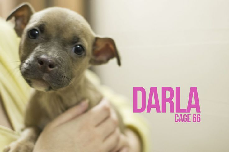 DARLA...FOUND IN STARK COUNTY Canton, OHIO>>>Release date 2/24,  $ 86.00 fee includes license, 4 way shot, Bordetella vaccine, flea treatment if necessary.  Some dogs are also wormed, Heartworm tested.  $50.00 goes to the cost of spay/neuter and rabies. We take cash only, no checks, or credit...