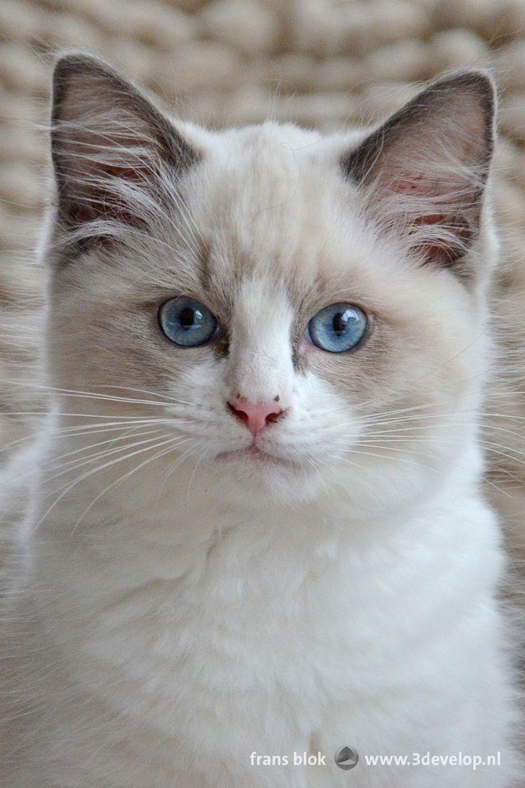 Ragdoll kitten with white fur and blue eyes, featured in an article about cat photography - Een jong ragdoll-poesje met witte vacht en blauwe ogen speelt de hoofdrol in een blogpost over het fotograferen van katten.