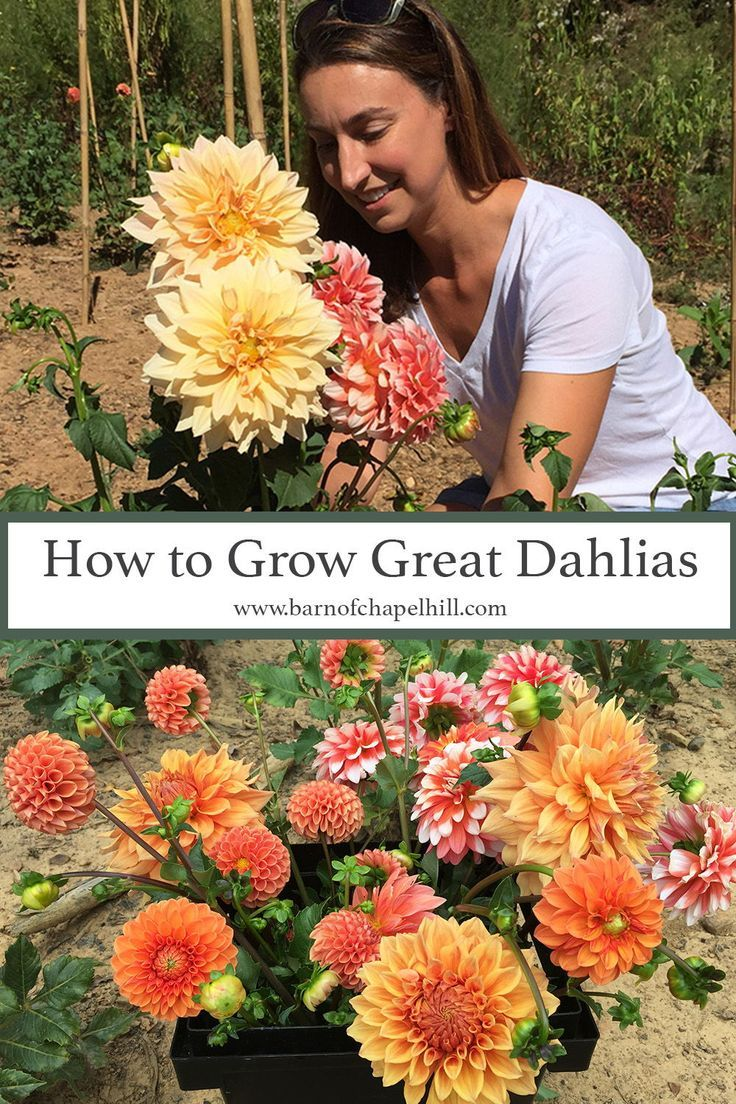 Dahlias 101 A Beginner S Growing Guide The Barn Of Chapel Hill At Wild Flora Farm In 2020 Planting Dahlias Dahlias Garden Growing Dahlias