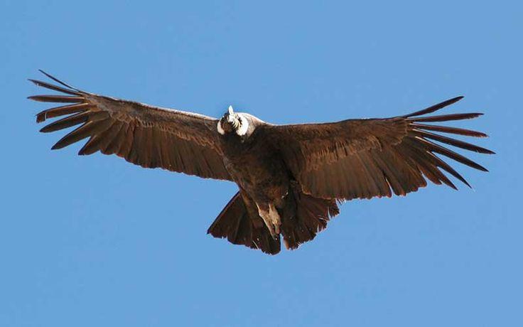 Cóndor de los Andes (Vultur gryphus)