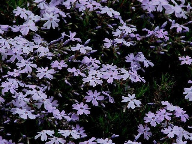 Phlox subulata (Kruipende vlambloem)