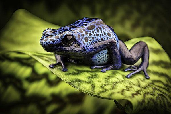 Blue Poison Dart Frog Amazon Rain Forest By Dirk Ercken Blue