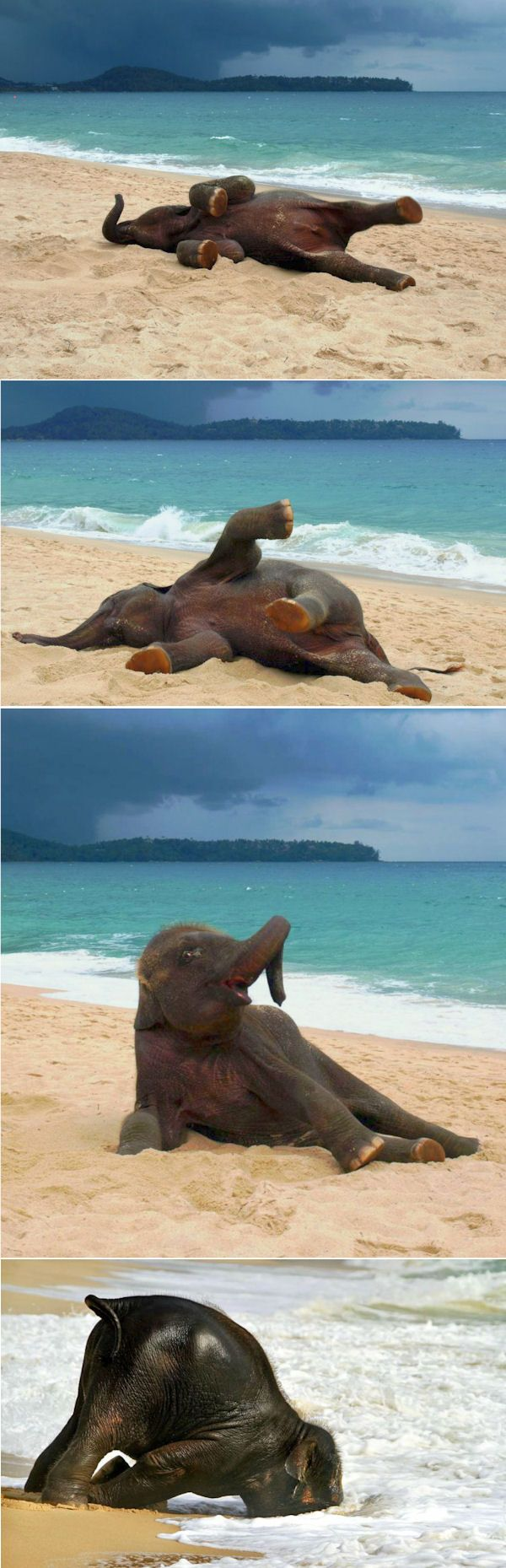 insolite eau elephant elephanteau plage sable                                                                                                                                                      More