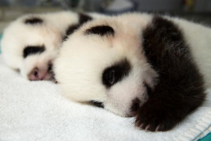 Shh. Babies sleeping.  #ZAPandaCubs