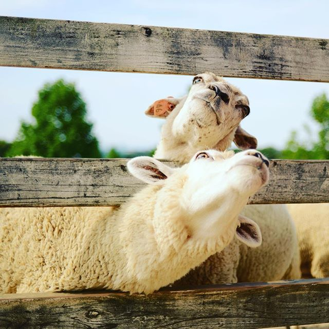 羊とたわむれてみたり😌 #ハーベストの丘 #旅行 #パパ #羊#エサやり #楽しかった #家族 #連投失礼