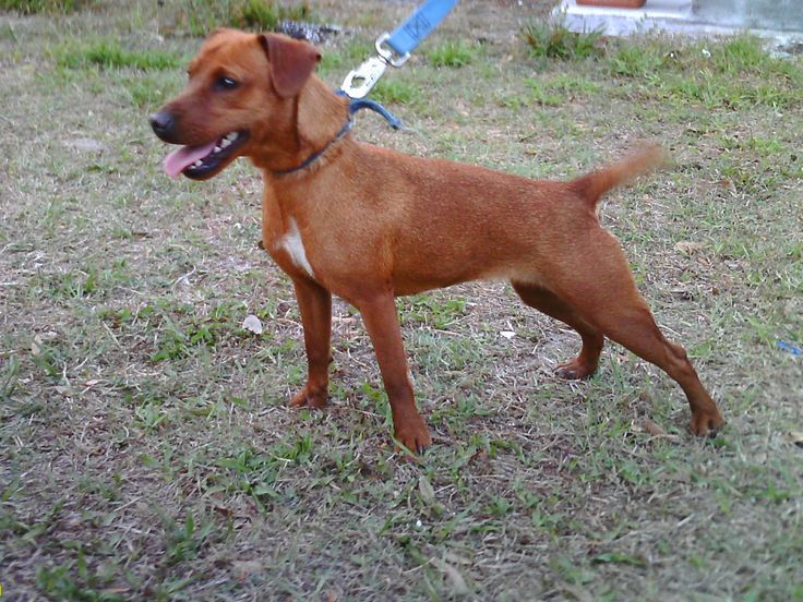 AngloAmerican Patterdale Terriers, Ruskin, Florida Pets