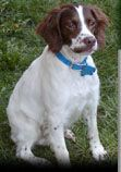 American Brittany Rescue :: How you can help
