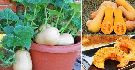 Siembra y cosecha tus propias calabazas orgánicas en macetas con este paso a paso.