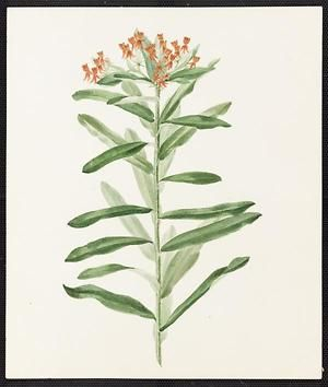From the collection at Andersen Horticultural Library. Agnes Williams (1860-1946), a watercolorist from Bucks Co., PA, created a wildflower portfolio during the 1880s and 1890s. Emma painted Asclepias tuberosa (Butterfly Weed) somewhere in Bucks County. It is dated July 11, 1884.