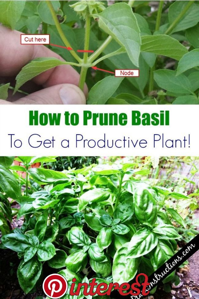 How To Prune Basil In This Article We Ll Show You Exactly How To Prune Basil The Right Way So That Your Garden Plants Vegetable Pruning Basil Planting Herbs