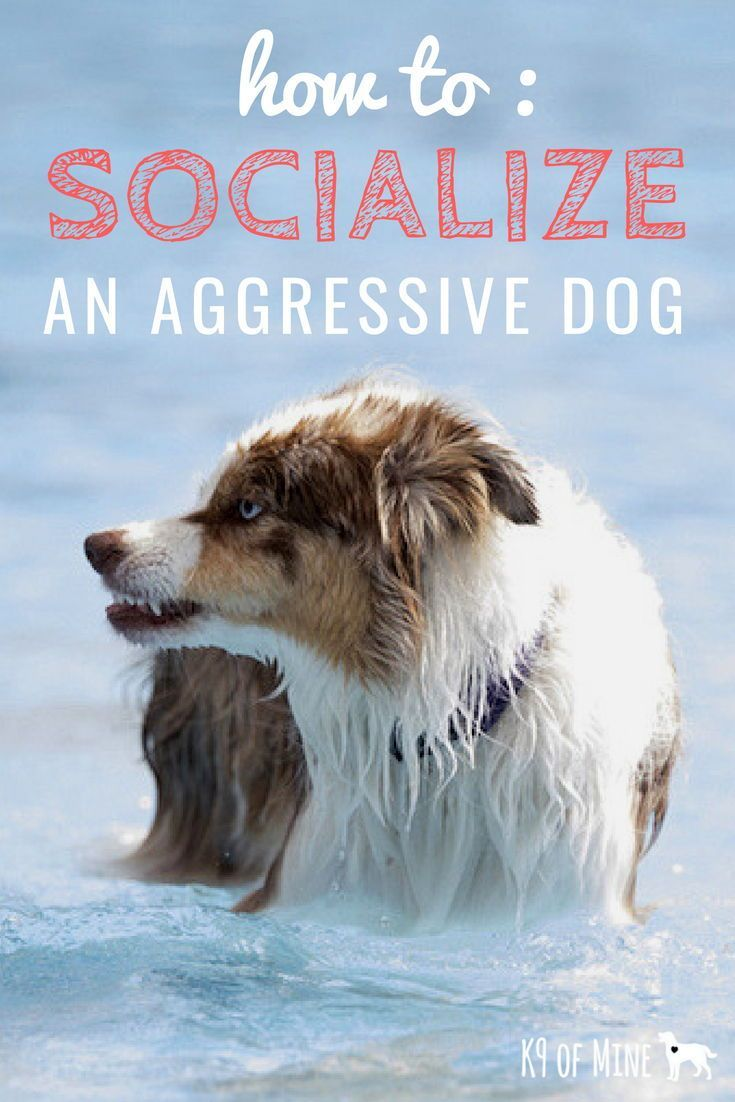 How To Socialize An Adult Aggressive Dog It S Not Too Late