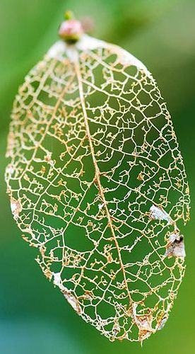 A type of insect damage characterized by insect feeding on leaf areas between veins; it can result in a lacy or skeleton appearance to the leaf.