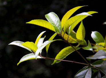 Tea Tree for Acne and Athlete's Foot
