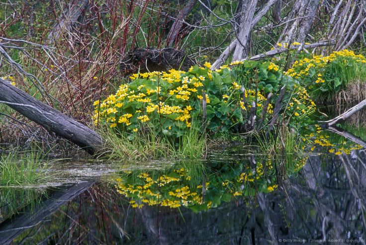 Flowering marsh marigolds and standing water in cedar
