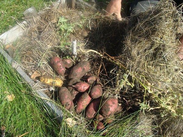 Замятин о выращивании картофеля - 6 соток