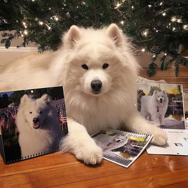 Christmas came early - my test results are back and I'm CANCER FREE! Samoyed  PuppiesWhite ...