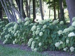 hortensia annabelle strong - Ook in de schaduw, dan verbranden de bladeren niet.