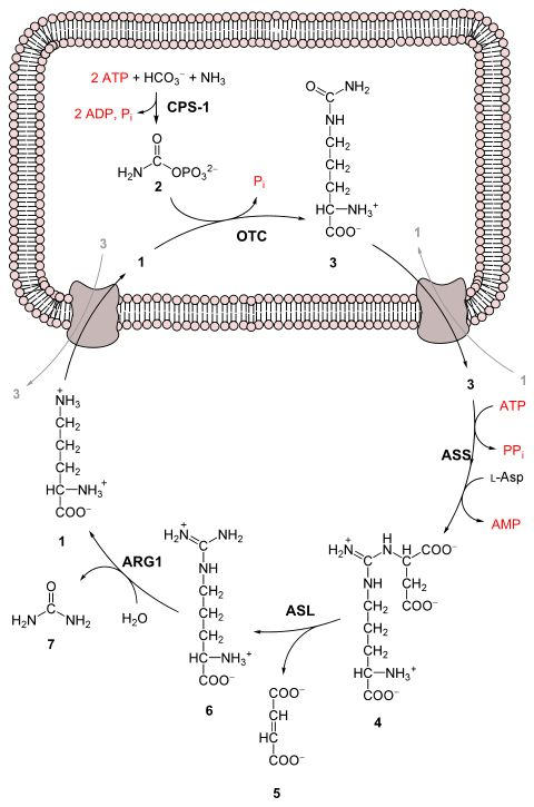 Urea cycle (also known as the ornithine cycle)