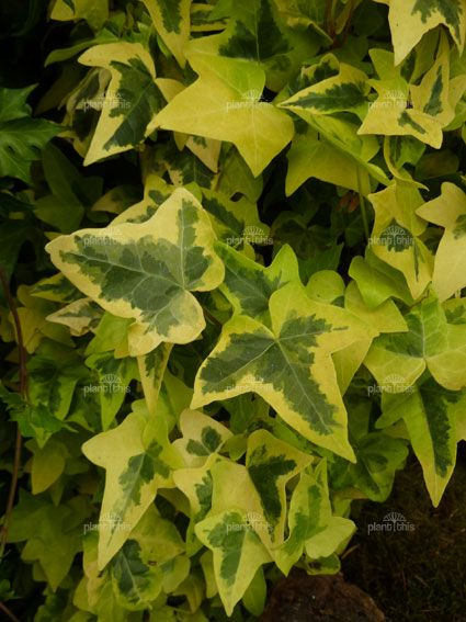 Ivy English Goldchild