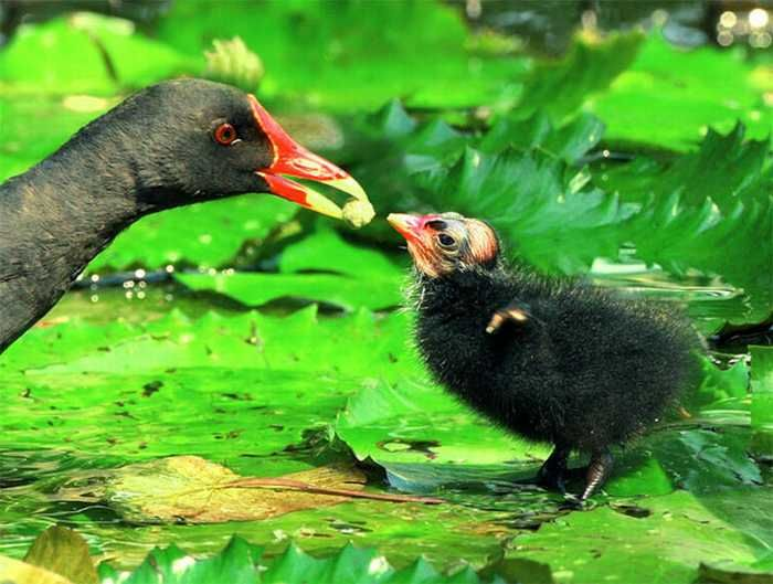 Moorhen mother feeding her chick. The Beauty of Bird Photography by John & Fish
