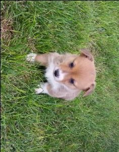 AKC Registered Pembroke Welsh Corgi Puppies – Countryish Girl